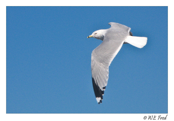 opimal foraging patterns in silver gulls Wwwsciencegov.